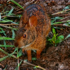 A wild rabbit from a trip to Myakka River State Park, Florida. -Arianna Nakashima